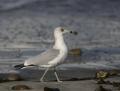 56-ring-billed-gull1010c