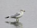 56a-ring-billed-gull1010b
