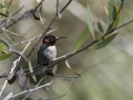 58-e1u9674annashummingbird