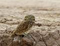 63-burrowing-owl1010a