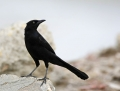 68-great-tailed-grackle1010a