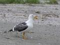 70-yellow-legged-gull1010a