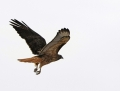 72-red-tailed-hawk1010a