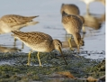 81-long-billed-dowitcher1010b