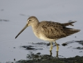 82-long-billed-dowitcher1010a