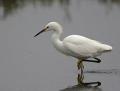 9-snowy-egret1010d