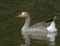 92-greater-white-fronted-goose1010b