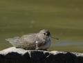 96-spotted-sandpiper1010b