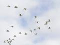 97-snowy-egret1010l