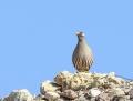 Sand partridge - aavikkopyy