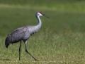Sandhill crane - hietakurki