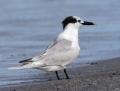 Sandwich tern - riuttatiira