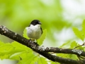 Semi-collared flycatcher - Balkaninsieppo