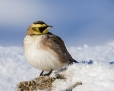 Shore lark - tunturikiuru