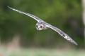 Short-eared owl - suopöllö