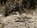 Short-toed lark - lyhytvarvaskiuru