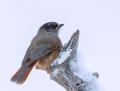 Siberian jay - kuukkeli