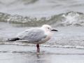 Slender-billed gull - kaitanokkalokki