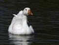 Snow goose - lumihanhi