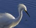 Snowy egret - lumihaikara