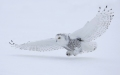 Snowy owl in Montreal 2010
