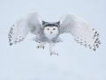 Snowy owl - tunturipöllö