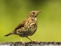 Chats and thrushes