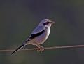 Southern grey shrike - etelänisolepinkäinen