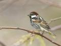 Spanish sparrow - pensasvarpunen