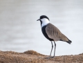 Spur-winged plover - kynsihyyppä