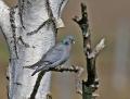 Stock dove - uuttukyyhky