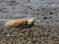 Striated heron - kyyryhaikara