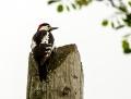 Syrian woodpecker - syyriantikka