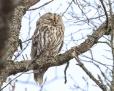 Tawny owl - lehtopöllö