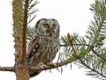 Tengmalm's owl - helmipöllö