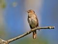 Thrush nightingale - satakieli
