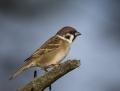 Tree sparrow - pikkuvarpunen