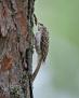 Treecreeper - puukiipijä