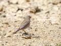 Trumpeter finch - aavikkotulkku