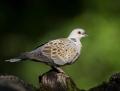 Turtle dove - turturikyyhky