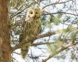 Ural owl - viirupöllö