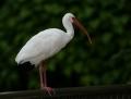 White ibis - valkoiibis