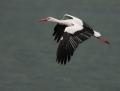 White stork - kattohaikara