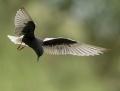 White-winged tern -