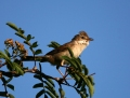 Whitethroat - pensaskerttu