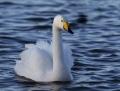 Whooper swan - laulujoutsen