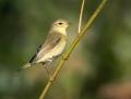 Phylloscopus warblers