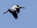 Wood stork - amerikaniibishaikara