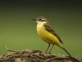 Yellow wagtail - keltavästäräkki